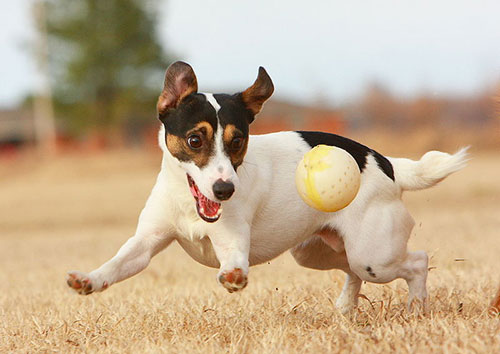 jack-russell6